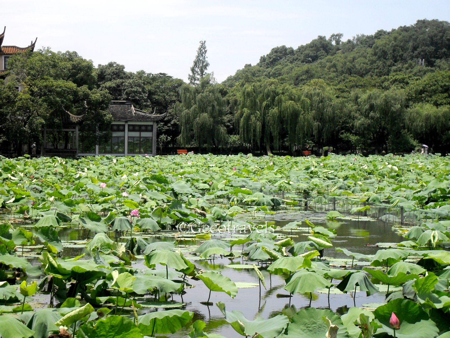 stagno con fiori di loto