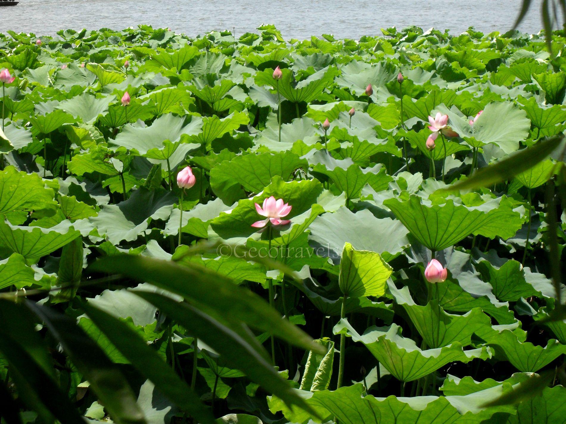 fiori di loto